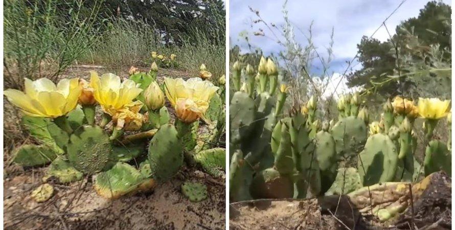 Кактусы в Херсонской области: Олешковский лес зарос опунцией садовой (фото,  видео)