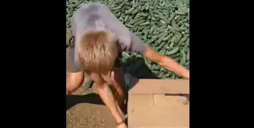фермер, урожай, огірки,