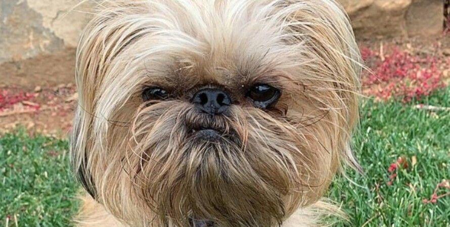 Бучи, сварливый пес, мем