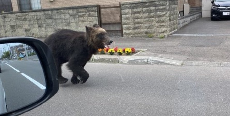 медведь, саппоро, япония