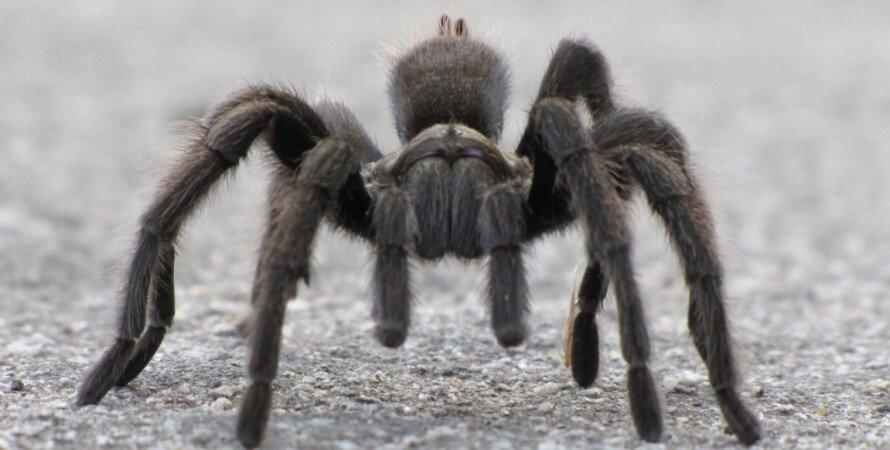 тарантул, пауки, меловой период