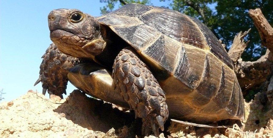 черепаха, ДТП