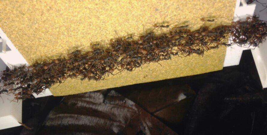 муравьи, колония муравьев, мегаструктура