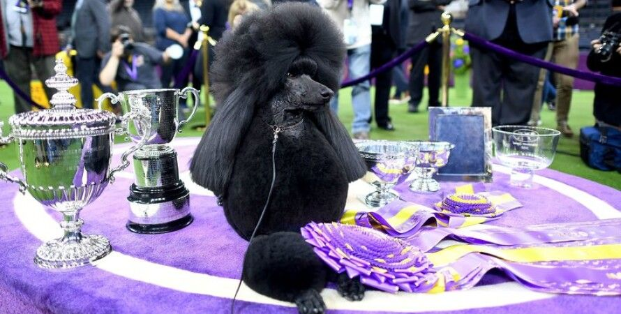 Фото: The Westminster Kennel Club