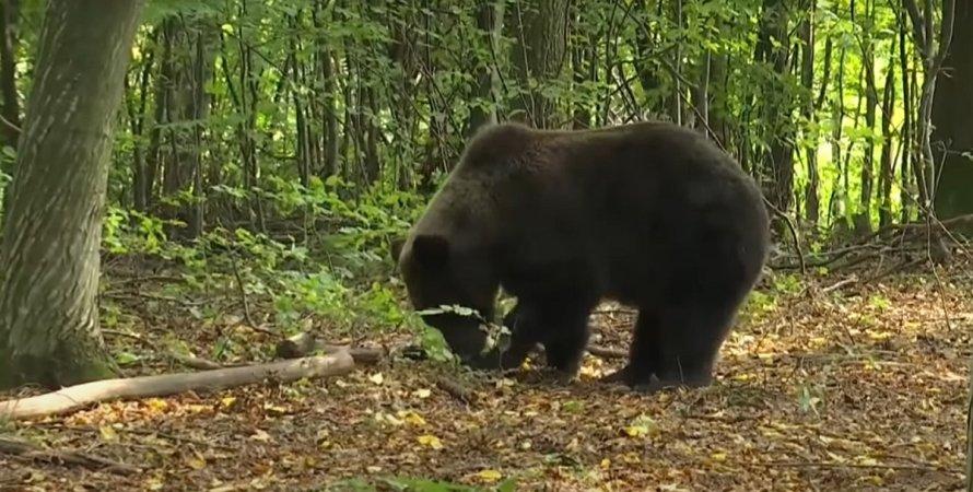 Медведь, Прикарпатье