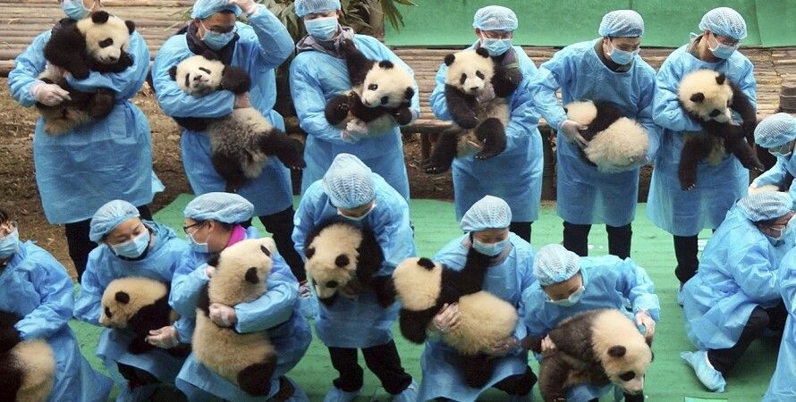 Фото: Chengdu Research Base of Giant Panda