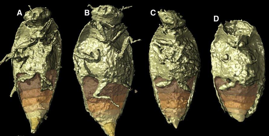 Triamyxa coprolithica, самый древний жук