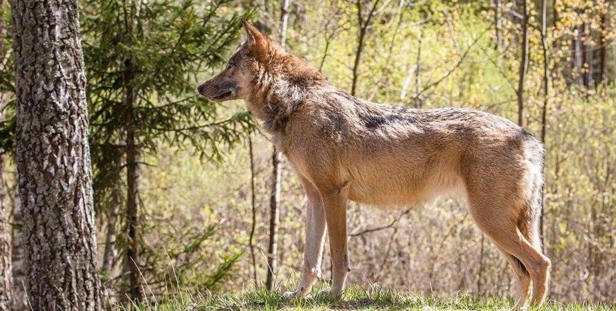 волк, отстрел, дикая природа, запрет охоты на волков