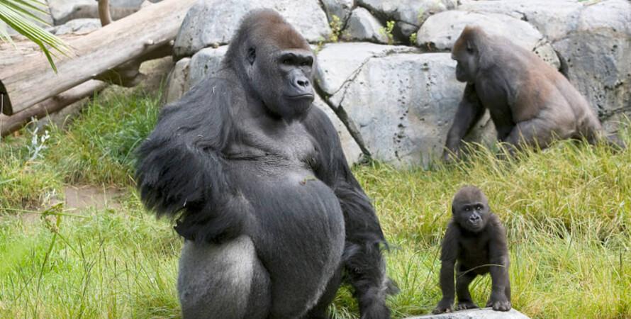 гориллы, сан-диего