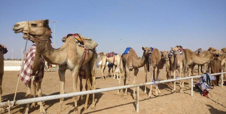 верблюды, дубай