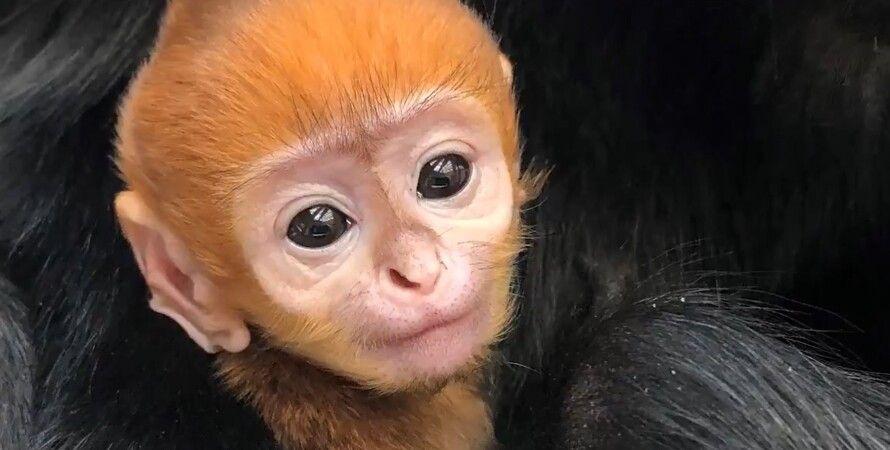 Лангур Франсуа, мавпа