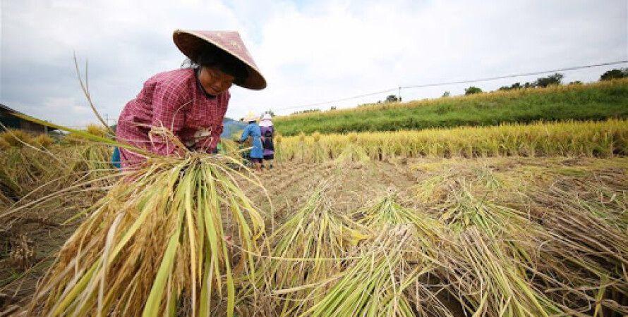 Уборка риса, рисовые поля, китай