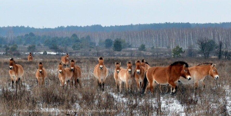 Лошадь Пржевальского, Чернобыльская зона, Браконьеры, Живодеры, Петля, Животные
