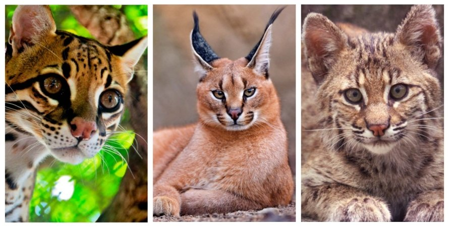 кішка, домашня кішка, дика кішка, колаж