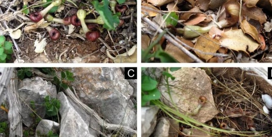Aristolochia microstoma