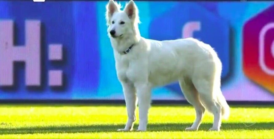 собака, футбол, Швейцарія