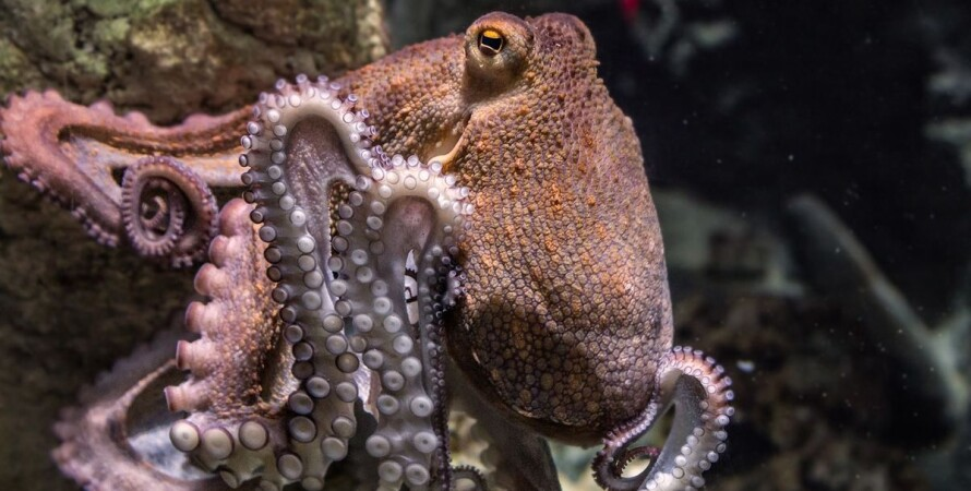 Австралия, океан, осьминог, моллюск,