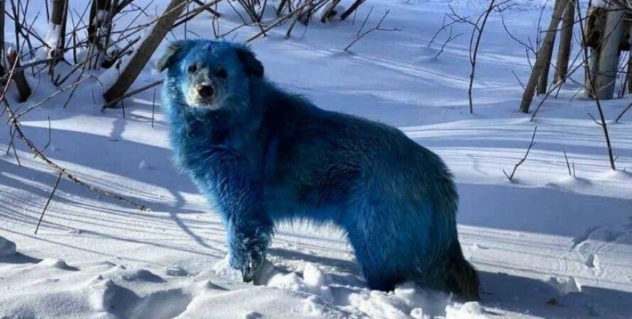 Дзержинск, собаки, синие собаки, химвещество, оргстекло