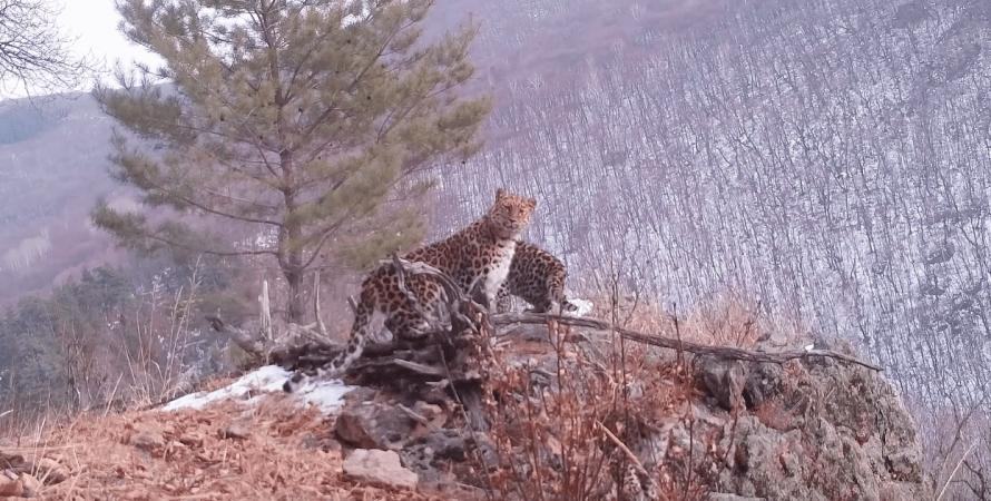 рідкісний вид леопардів потрапив на камеру, амурські леопарди в росії