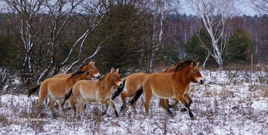 лошади Пржевальского, Чернобыль