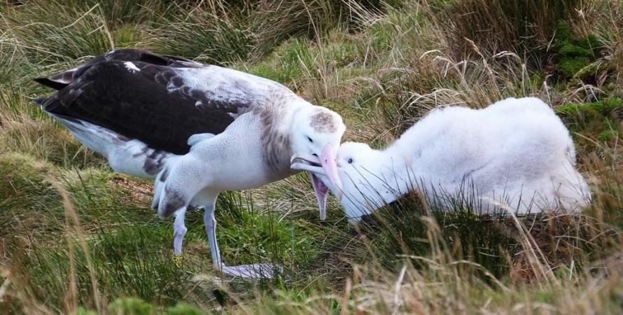тристанский альбатрос, остров гоф