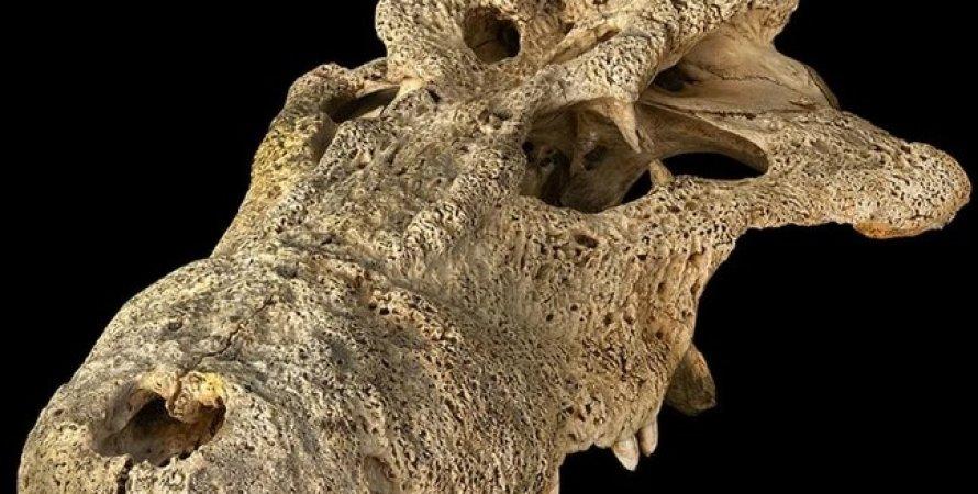 Череп стародавнього крокодила, рогата крокодил