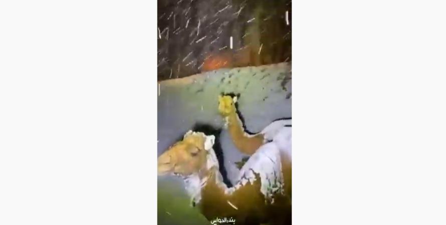 снег, саудовская аравия, фото, верблюды