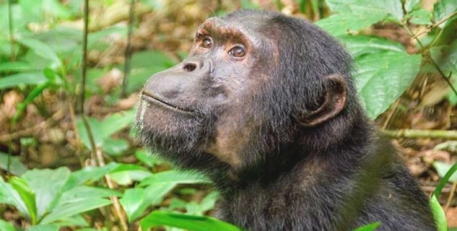 шимпанзе, приматы, джунгли