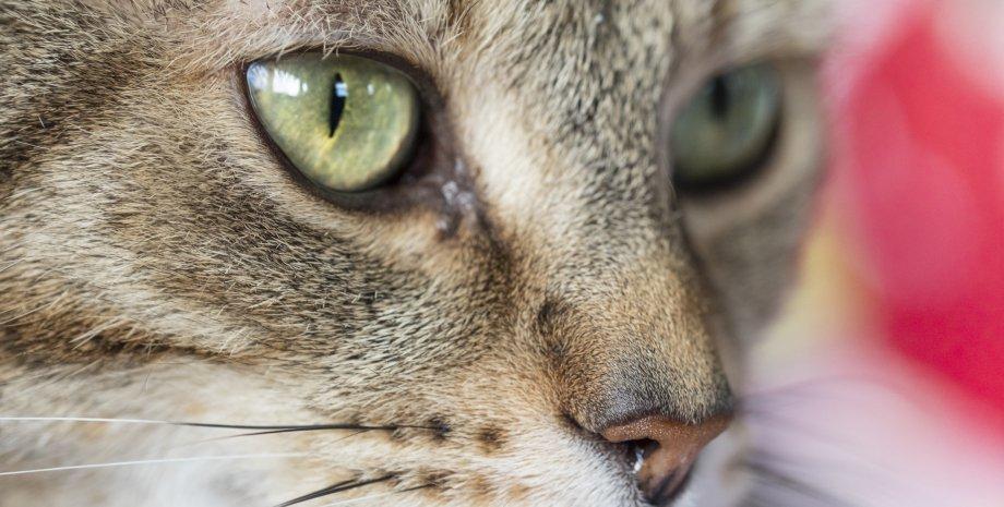кішка, незалежність, порода