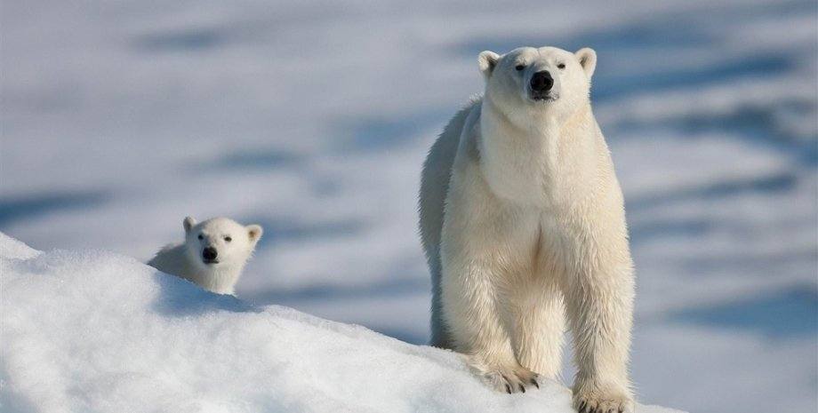 Фото: Polar Bear Facts