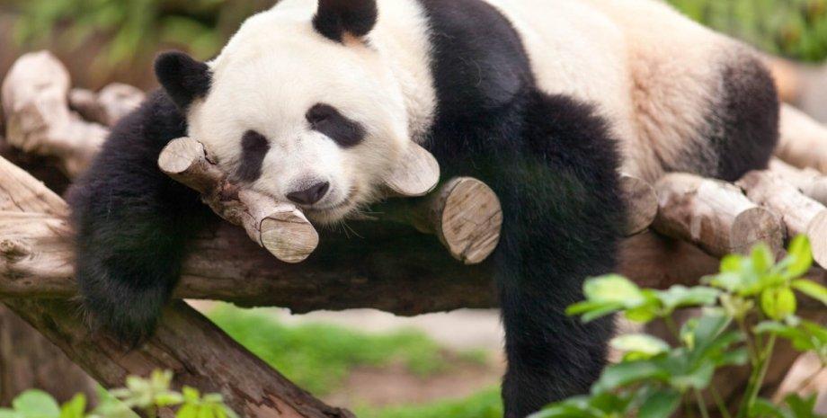 панда спит в гамаке