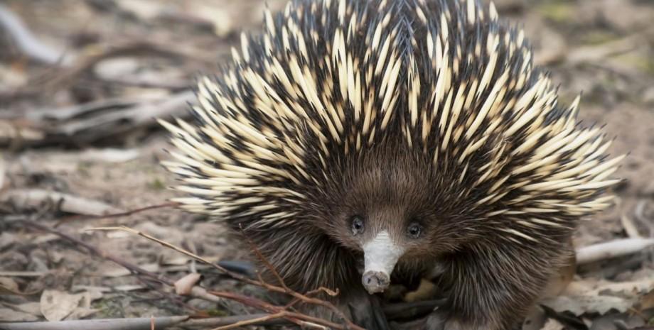Ехидна, животное, Австралия