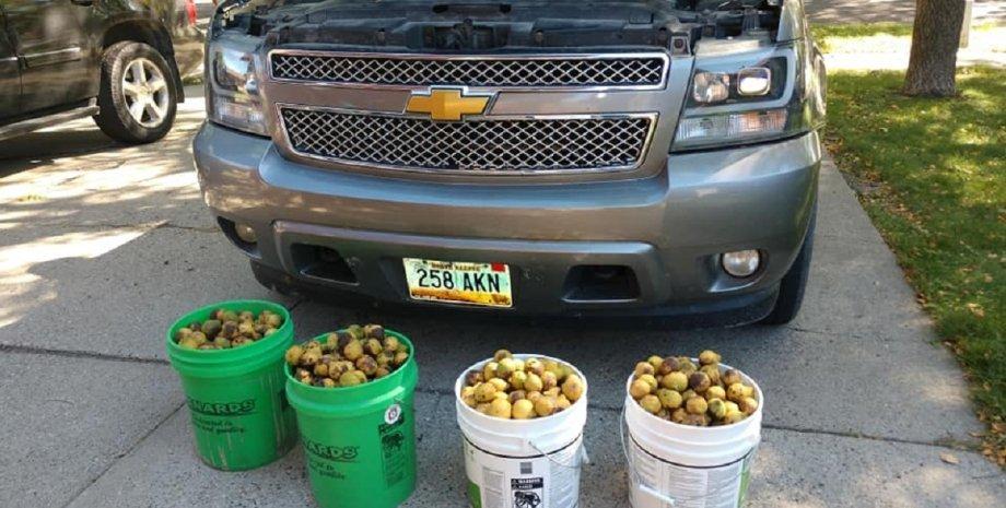 Chevrolet Avalanche, волоські горіхи, білки, припаси на зиму, пікап Chevrolet