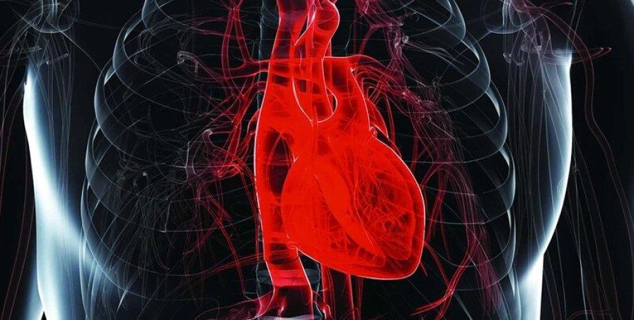 серце, людина, тіло, знімок