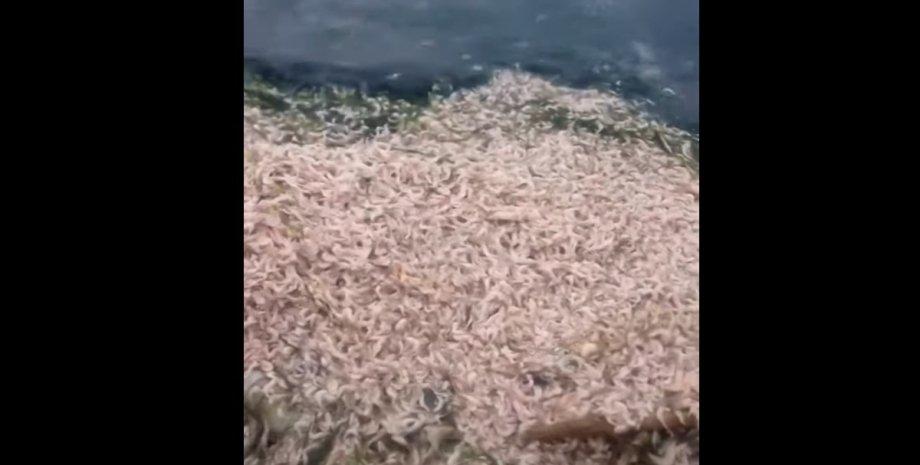 Хаджибеейский лиман, креветки, рыба, мор,