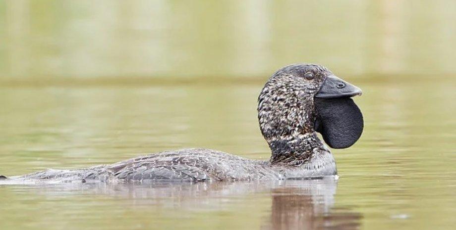 мускусная утка