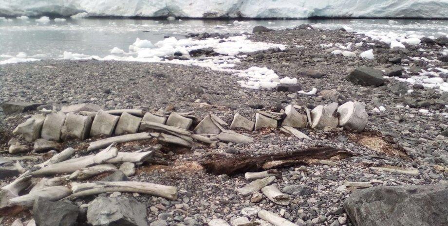 синий кит, Антарктида, останки,