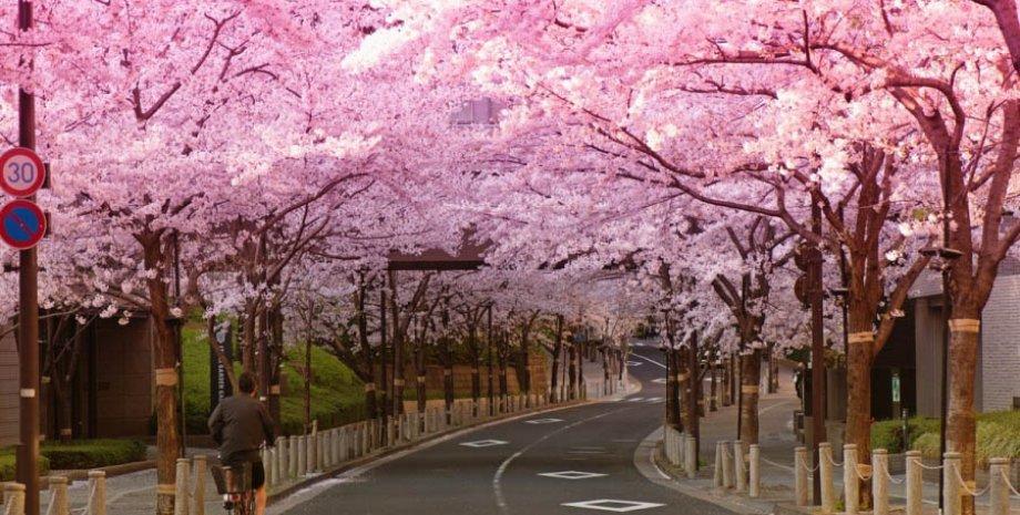 япония, сакура, цветение, деревья