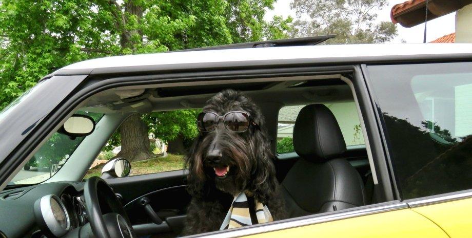 собака, вождение, ДТП