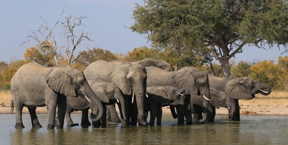 слоны, зимбабве