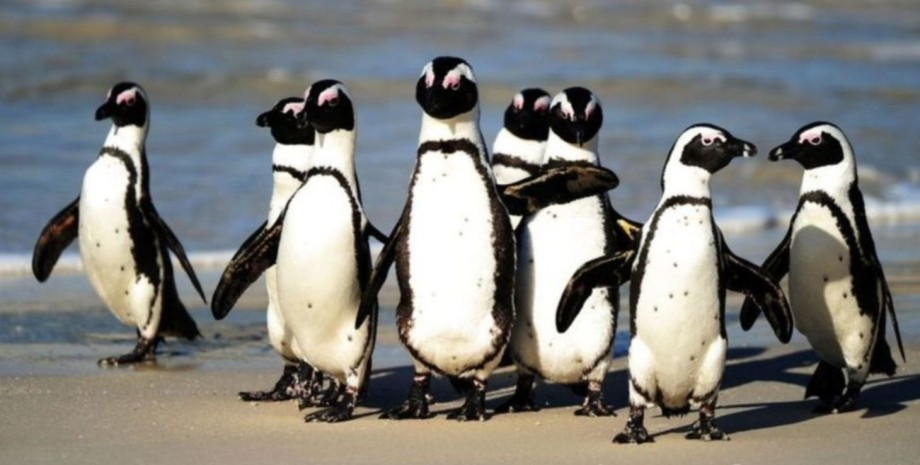 пингвины, юар, гибель, фото