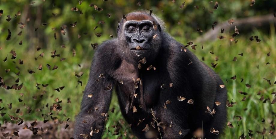 фото гориллы и бабочек