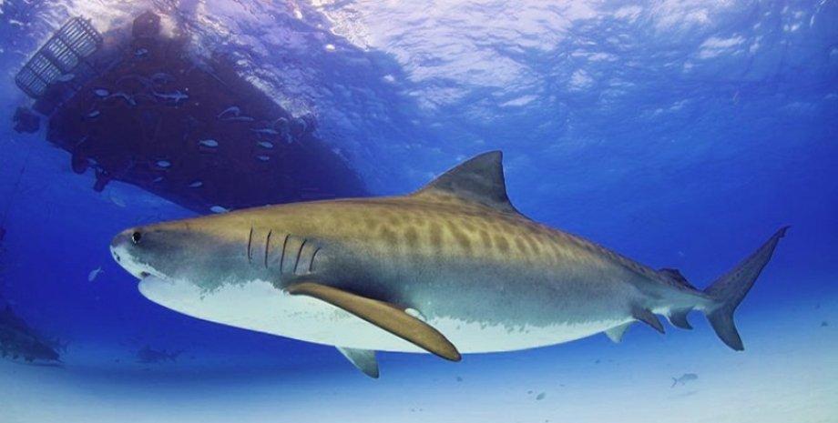 тигрова акула