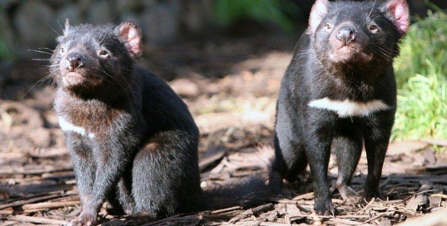 тасманский дьявол, Австралия, пингвины, вымирающий вид
