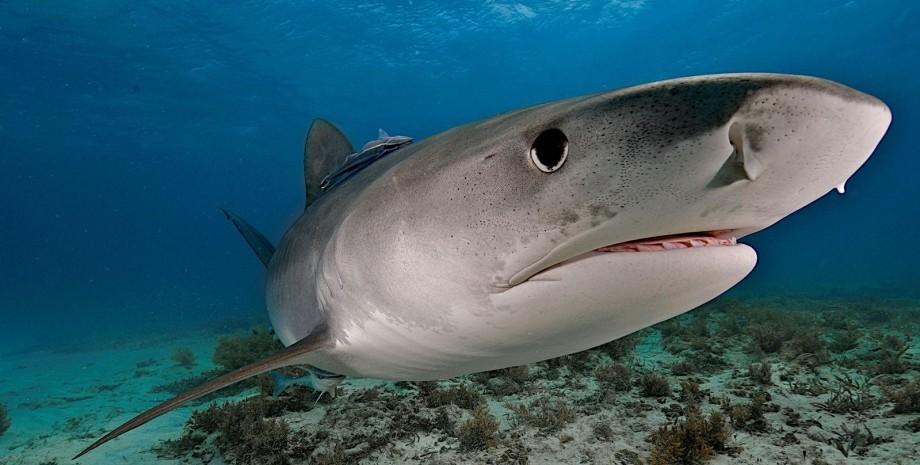 акула, велика біла акула, акула в Австралії
